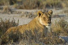 Lioness che risiede nel erba-campo Fotografia Stock