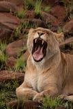 Lioness che sbadiglia Immagini Stock