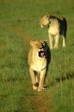 Lioness che sbadiglia Fotografia Stock