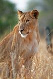 Lioness che si siede nella pioggia fotografia stock