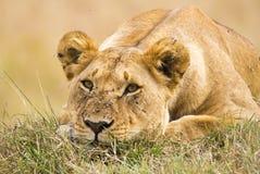 Lioness che si trova giù Fotografia Stock