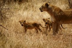 Lioness with children Stock Photo