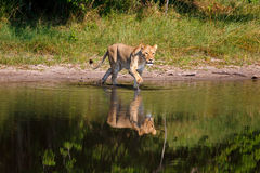 Lioness. In the Chobe National Park in Botswana Stock Photos