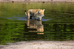 Lioness. In the Chobe National Park in Botswana Royalty Free Stock Image