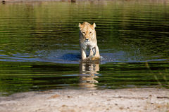 Lioness. In the Chobe National Park in Botswana Royalty Free Stock Images