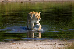 Lioness. In the Chobe National Park in Botswana Royalty Free Stock Photos