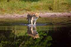 Lioness. In the Chobe Nationwide park in Botswana Stock Photo