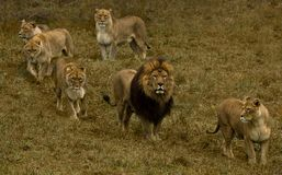 Lioness cinque e un leone. Fotografia Stock Libera da Diritti