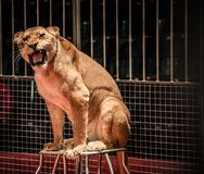 Lioness in circus Royalty Free Stock Images