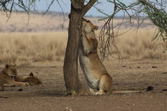Lioness claw-sharpening on a tree. In the savannah, just like a cat Stock Photo