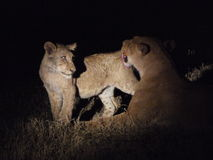 Lioness cleaning cub Stock Images