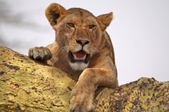 Lioness Close Up Royalty Free Stock Images