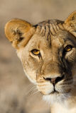 Lioness close up Stock Images