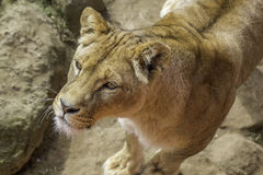 Lioness in close up from above Royalty Free Stock Photos