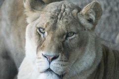 Lioness. Close up of female lion, the king of beasts Royalty Free Stock Image