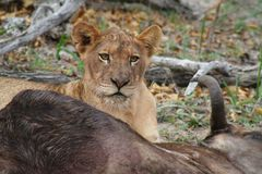 Lioness close-up near her prey after hunting. In the Savanna – South Africa Stock Photography