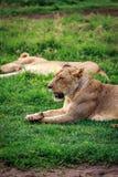 Lioness close-up, Serengeti, Tanzania Stock Images