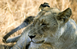 Lioness close-up Royalty Free Stock Photo