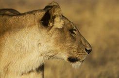Lioness. Close up of a sub adult lioness , Savuti , Botswana Royalty Free Stock Photography