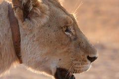 Lioness Collar Stock Photo
