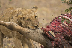 Lioness with Common Eland kill Stock Images
