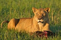 Lioness con alimento Fotografie Stock
