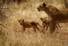 Lioness con i bambini Fotografia Stock