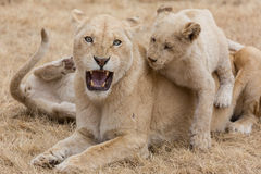 Lioness con i cubs Immagine Stock