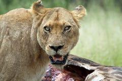 Lioness con l'uccisione Fotografie Stock Libere da Diritti
