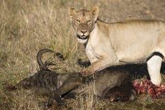 Lioness con la preda Immagini Stock