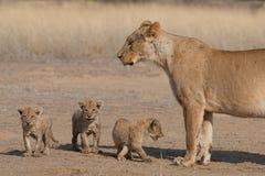 Lioness con tre cubs Fotografia Stock