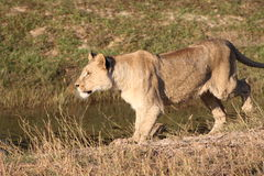 Lioness in countryside Stock Photography