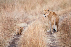 Lioness with a couple of young cubs Royalty Free Stock Images