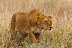 The lioness creeps up to the prey. Stock Image