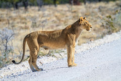 Lioness crossing a road in Etosha National Park, Namibia, Africa Royalty Free Stock Photo