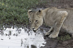 Lioness. Crouched down drinking from a waterhole Royalty Free Stock Images