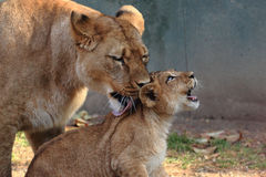 Lioness and Cub royalty free stock images