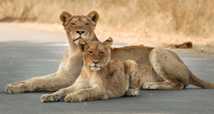 Lioness and cub. Resting on a tar road in Kruger National Park, South Africa Stock Photo