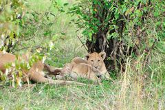 Lioness cub. Lying in long grass by bushes, Masai Mara, Kenya, Africa Royalty Free Stock Photos