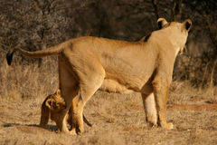 Lioness with cub royalty free stock photography