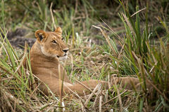 Lioness and cub Royalty Free Stock Photography