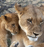 Lioness and cub - Botswana. A lioness with her cub (Panthera leo) in the Savuti Region of Botswana Stock Image