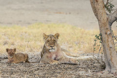 Lioness with cub Royalty Free Stock Photos