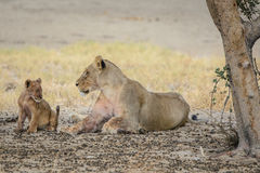 Lioness with cub Stock Photography