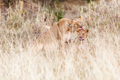 Lioness and Cub Cleaning after Dinner stock images