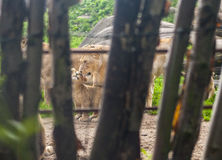 Lioness with cub through fence. Lioness with cubs next to rocks through wooden fencing Stock Photos