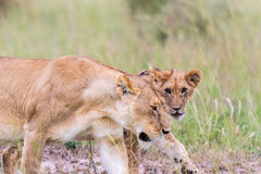 Lioness with a cub Royalty Free Stock Image
