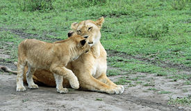 Lioness and cub Stock Photography