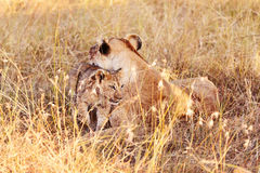 Lioness with cub in Masai Mara Stock Photo