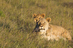 Lioness and cub observing stock images